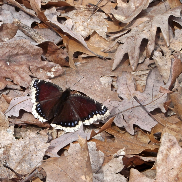 ImaginEco mourning cloak 1