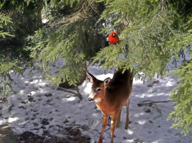 cardinal and deer
